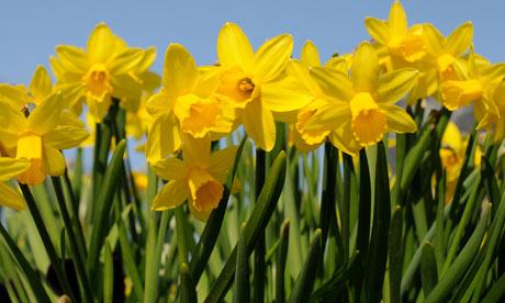 Daffodils-006