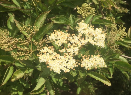 elderflower may 20