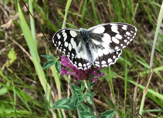 marbled white jum20